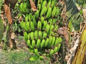 banan-plody-1