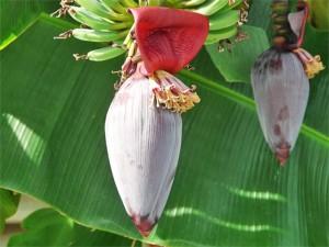 banan-kvet