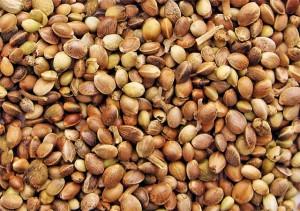 konopi-semena