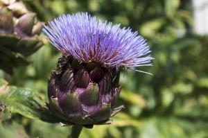 artycoky-kvet
